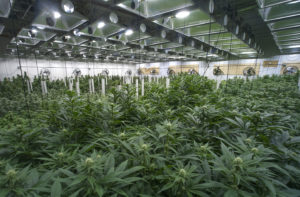 Independent research firm rates cannabis lighting providers