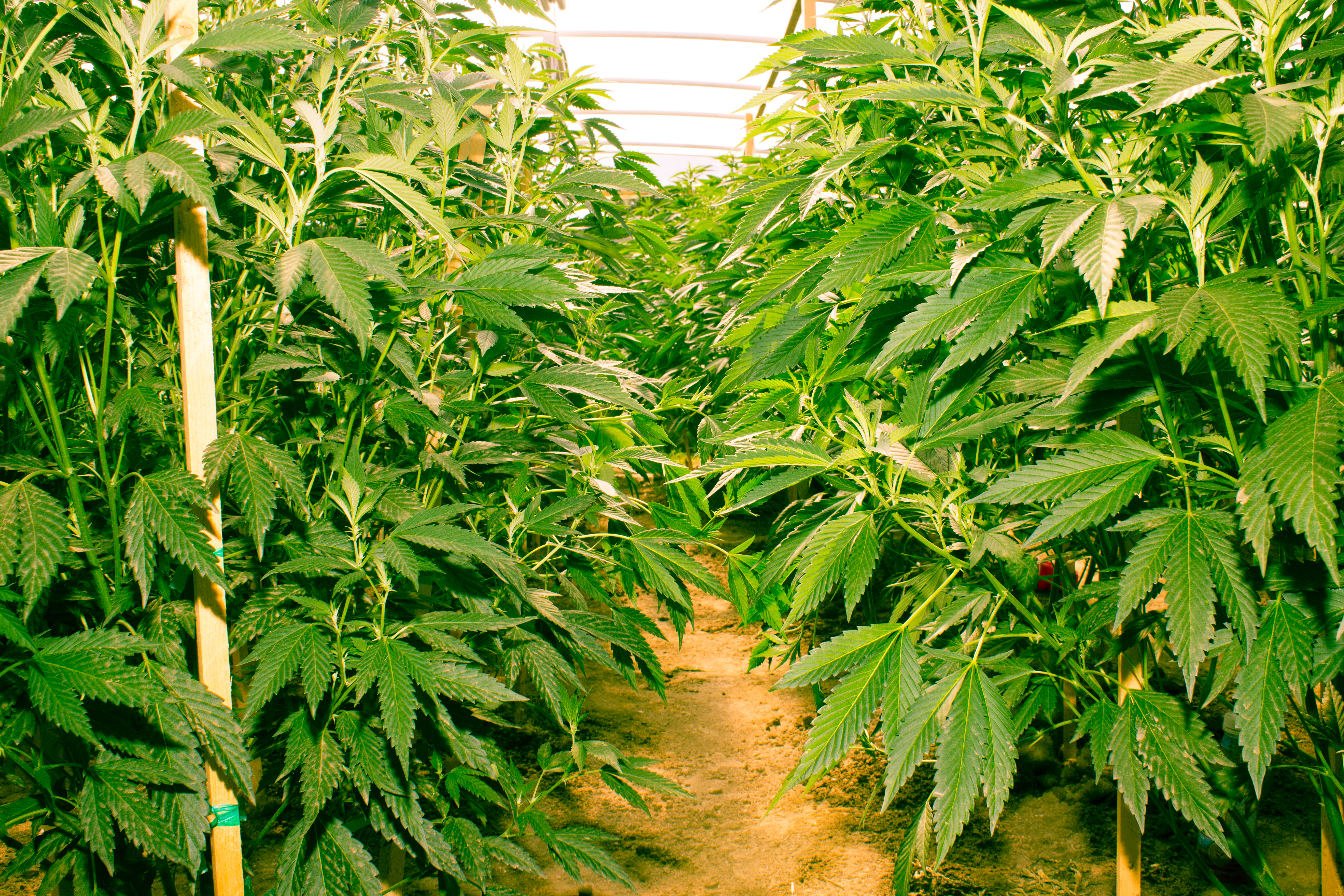 Supreme's 7Acres begins growing Wappa in new facility