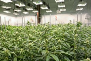 New license allows Maricann to increasecannabis production by over 480%