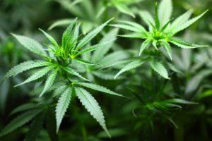 The U.S. Senate Just Voted To Legalize Hemp