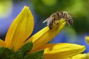 Honey Bees Create Cannabis Honey through Biological Trick