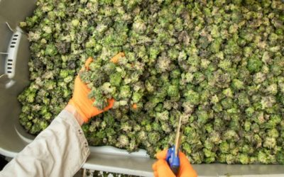 Canopy Growth Corp: What's the Latest News for this Pot Stock?
