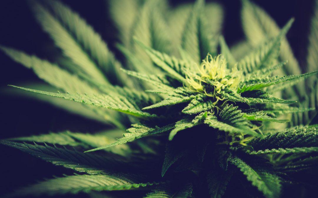 Aurora Cannabis Inc: Will This Hemp Stock Surge Post Restructuring?