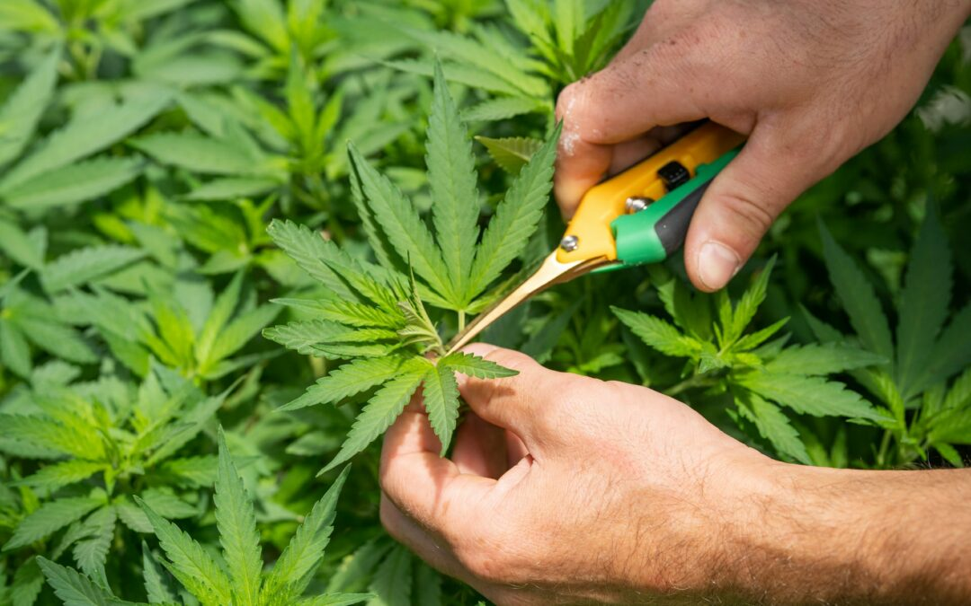 CV Sciences: Is this Hemp Stock a Buy?