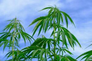 Green Globe Licenses Patent For Terpene Spraying