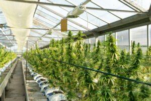 crystalweed cannabis c3oy2uiXXAM unsplash