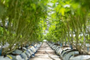 Competing Hemp Genetics Providers Join Forces to Raise Quality Standards
