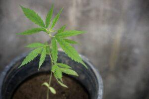 BioHarvest Sciences Milestones in Cannabis BioFarming