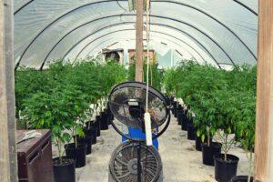 GeneticsCubed Patents Unique CBC Cultivar