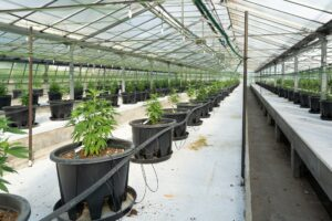 The Future of Cannabis - Bold Predictions All Set to Evolve the Weed Industry