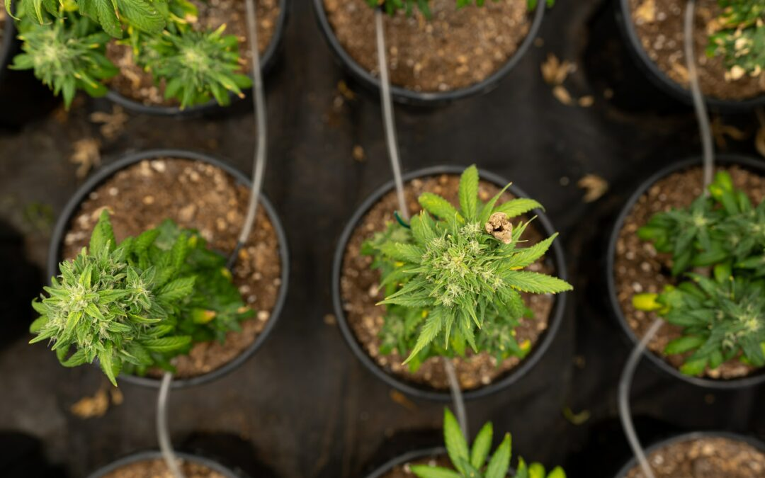 Cannabidiol Derived From Hemp Anticipated To See Rapid Growth