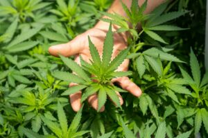 Is Green Hygienics Holdings the Hemp Stock You've Been Waiting for?