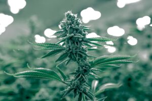 Bhang Wins 10th Cannabis Cup